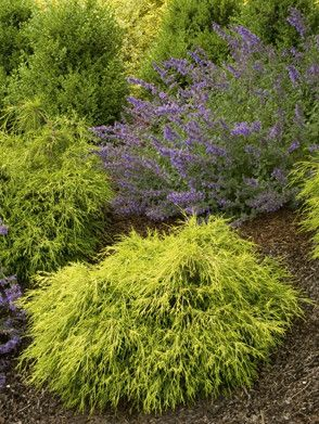 14 Best Small Dwarf Evergreens Images On Pinterest 400 x 300