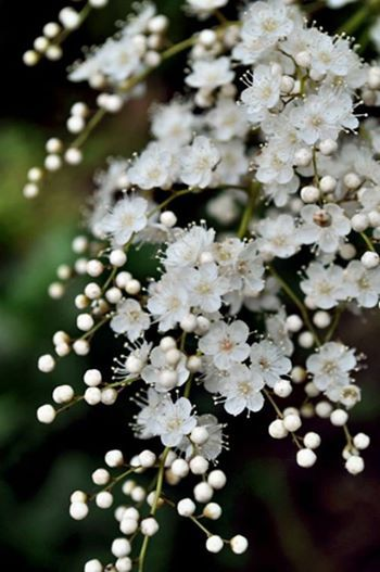 hawthorn. The lovely smell and frothy veils of flowers in spring . So common but so lovely in the UK. in May.....