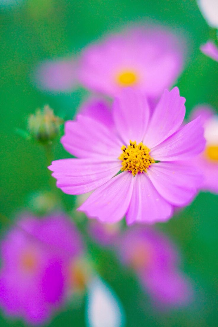 Fall In Love Again Wallpapers Best 25 Cosmos Flowers Ideas On Pinterest Cosmos Flower