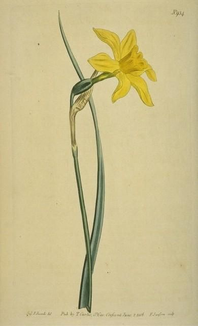 """Great yellow jonquil"""