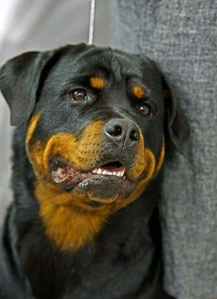 Pin On Rotties Forever In Memory Of Lariska Lia Rajah Diva