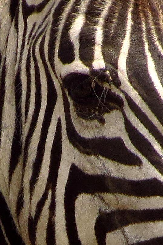 Love zebras!