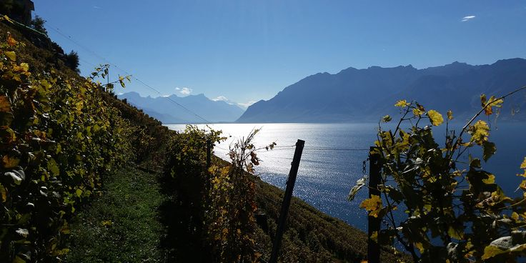Gutedel gehört nicht zu den berühmtesten Sorten der Weinwelt. Doch in einigen herausragenden Lagen am Genfer See produzieren Winzer erstaunlich alterungsfähige Spezialitäten aus der unterschätzten Chasselas-Traube. Die besten Waadtländer Weissweine sollte man nach der Abfüllung erst mal ein paar Jahre weglegen: Calamin, Dézaley und Féchy werden, wenn alles zusammenpasst, erst nach ein paar Jahrzehnten interessant.
