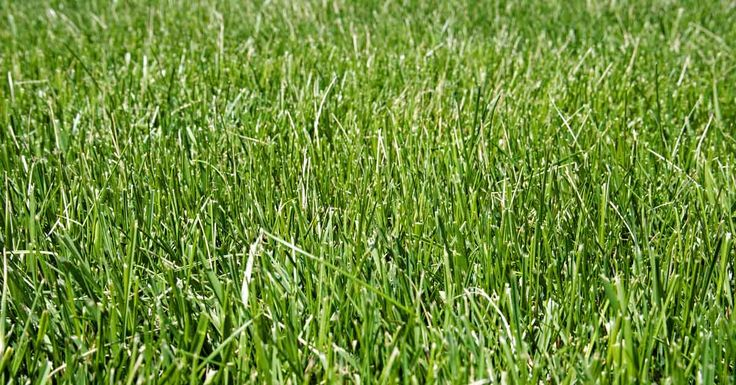 All You Need to Know About Tall Fescue Fescue grass