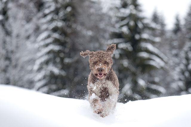 Første skitur med Bella – CSW dogs
