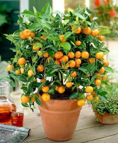Calamondin orange recipes best cake world