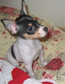 Toy Fox Terrier Puppies Breeders Fox Terriers