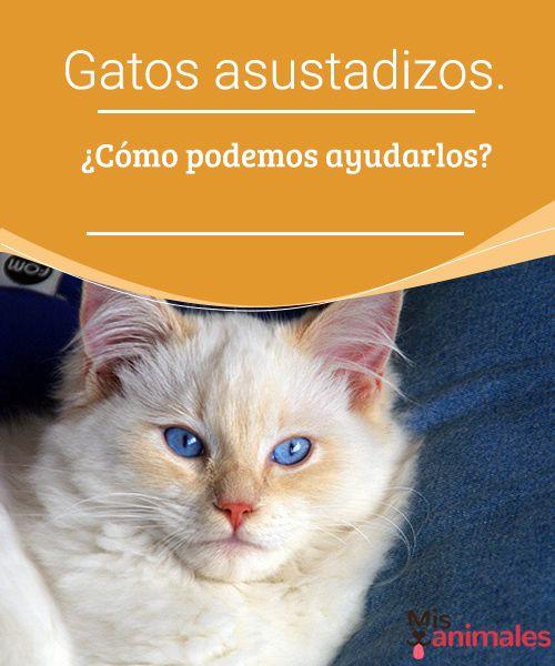 Gatos asustadizos. ¿Cómo podemos ayudarlos?  Gatos asustadizos, ¿cómo podemos ayudarlos a superar sus miedos? Si tu mascota se muestra miedosa tendrás que armarte de paciencia y buscar la forma de poder ayudarla. #ayuda #asustados #miedo #consejos