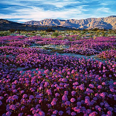 Beauty of Anza Borrego's wildflowers, California desert, northeast of San Diego.