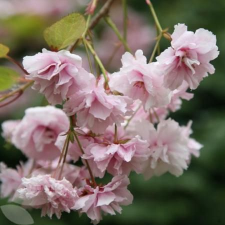 Different forms of cherry blossom trees - Cheal's Weeping