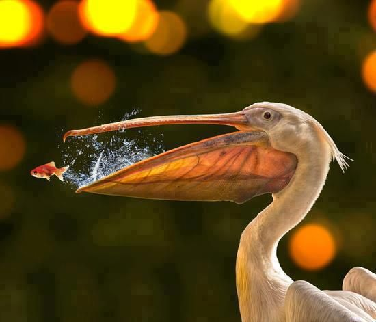 Pelican Eating Fish.              THAT'S NO FISH...IT'S NIMO!! SWIM NIMO, SWIM!!!