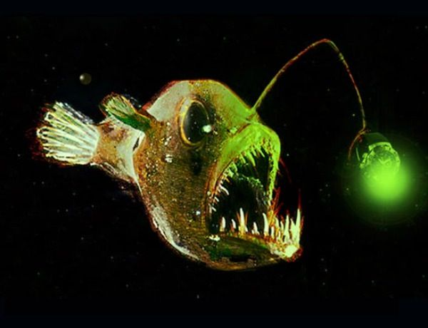 84 best images about anglerfish on pinterest rusted for Where do angler fish live
