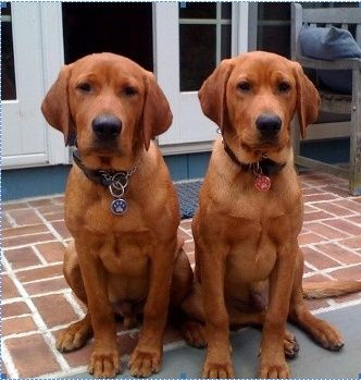 Fox red Labrador's   ...........I want one ♡♡