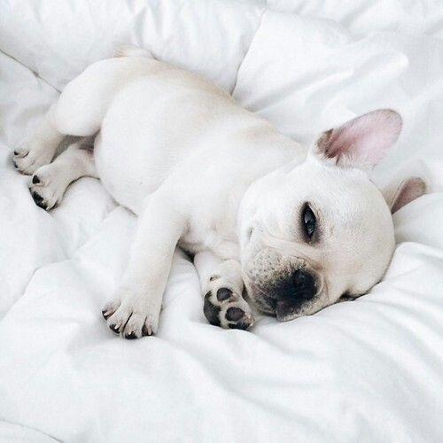 Lil baby | #frenchie #dog