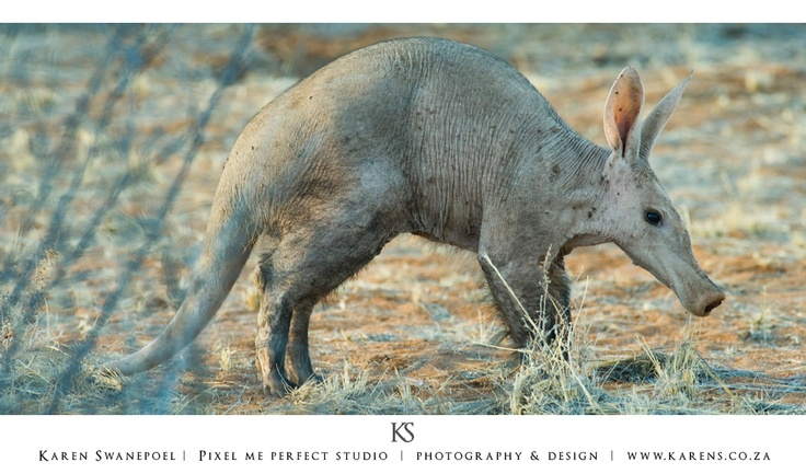 I had the most amazing experience of my life. We were on a game drive when we saw two Ant Eaters (Aardvark) walking in the open fields. Not having the correct lens with me, I then raced home to get my 200-400mm lens with a 1.7 converter.    I drove back to where we had seen them and I was lucky enough to find them both still scavenging for food. I parked the vehicle and stalked them for 10 minutes until I came as close as 8m from the young one.  Here is a shot I got.