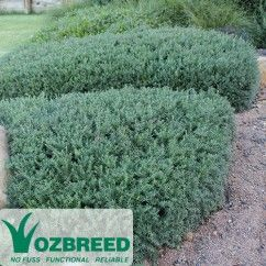 Specially developed to withstand Australias harsh climate Mundi™ Westringia fruticosa Mundi 'WES05' PBR is a delightful native bordering plant featuring blue-grey foliage and small white flowers.