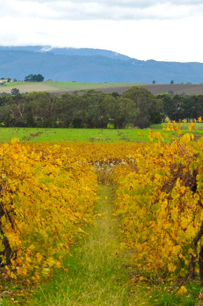 The Yarra Valley, Victoria's most famous wine region just outside of Melbourne
