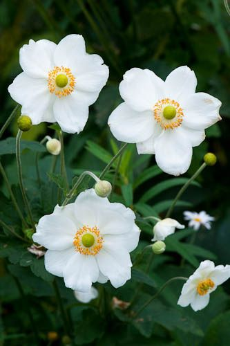 Anemone x hybrida 'Honorine Jobert' in situ on middle terrace by Cistus .