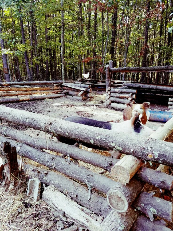 Rustic hog pen made with dropped pine, notched and stacked