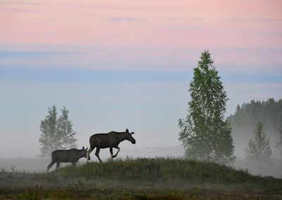 Moose on a walk during the night in Byske, Sweden. Shot during the midnight sun. Photographer Torbjörn Lilja, available as poster at printler.com, the marketplace for photo art.