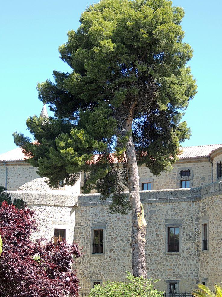 Pino Carrasco del Castillo de Villaviciosa de Odón (Pinus halepensis) http://www.elhogarnatural.com/Arboles%20singulares.htm