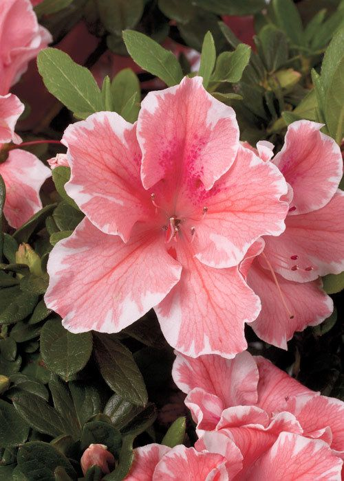One of the newest Encore® Azaleas, Autumn Sunburst™ is a bright highlight in the garden growing compactly and blooming profusely in spring summer and fall. Its unique blooms are coral pink with white