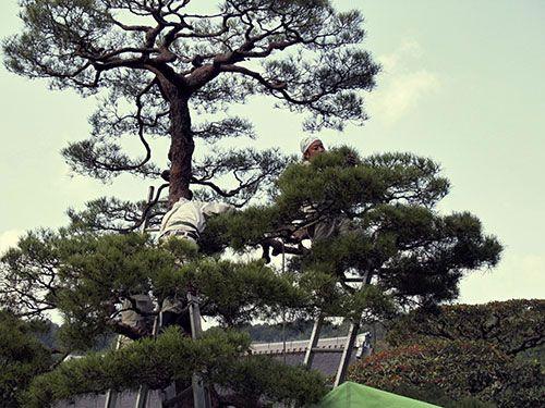 37 best images about akamatsu on pinterest gardens for Zen garden trees
