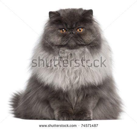 Persian cat gumtree