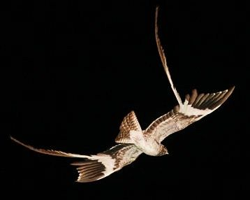 nightjar   Birds of the World: Pennant-winged nightjar