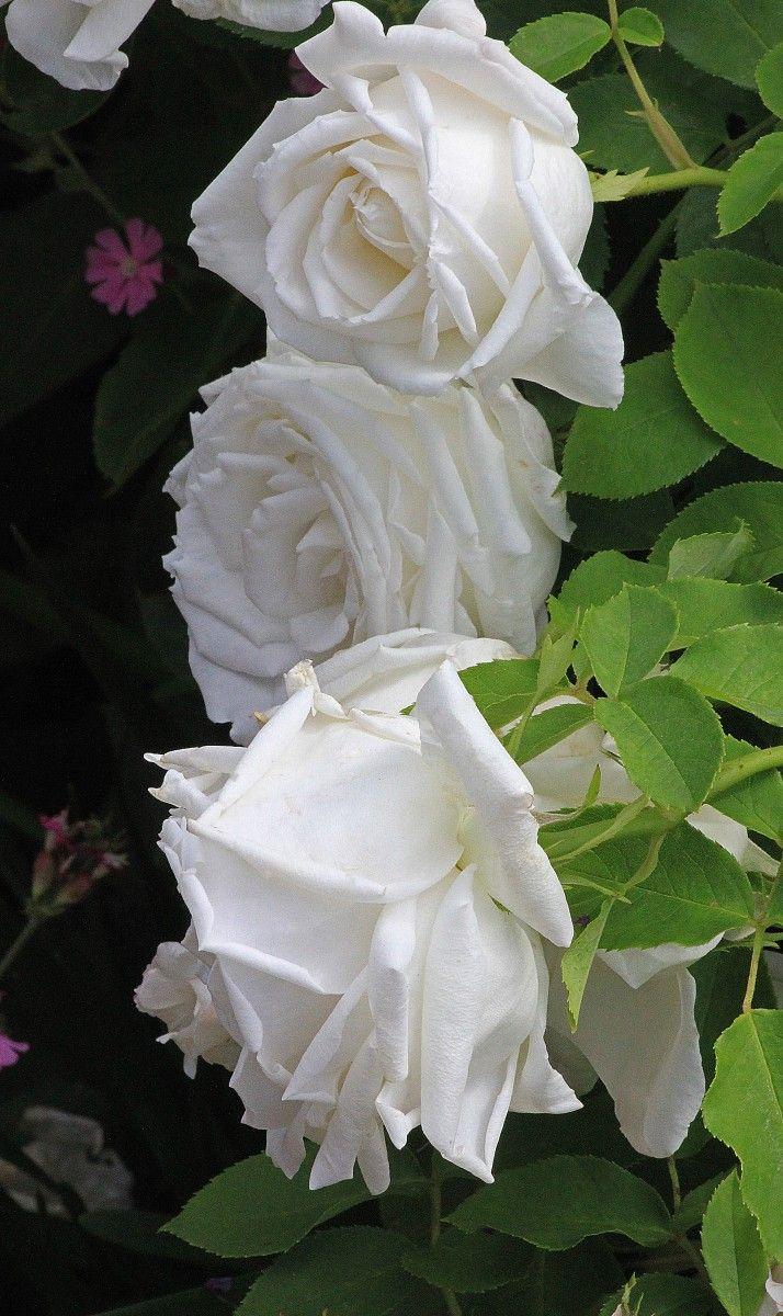 best all roses images on pinterest gardening rose bush care