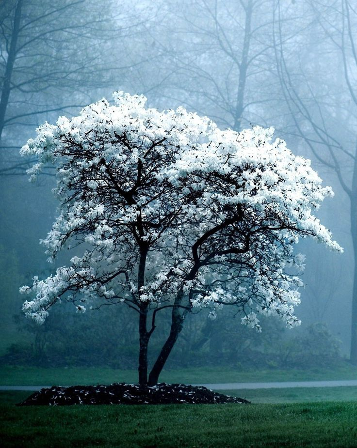 Wonderfully Abundant Flowering Stellata Magnolia Tree