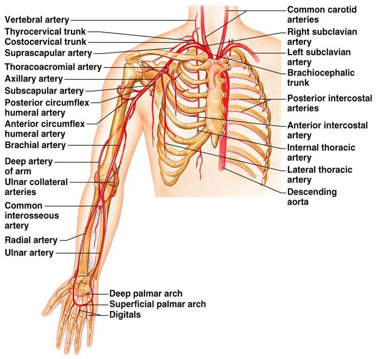 Thoracic vascular anatomy
