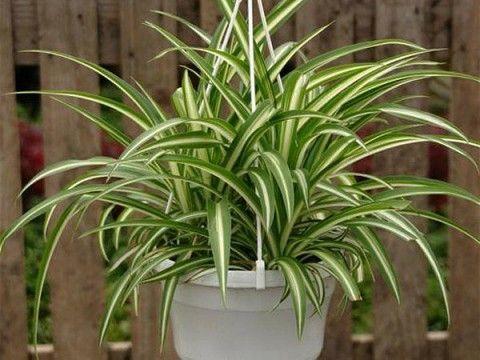 Хлорофитум: растение с поистине удивительными свойствами, буквально творит чудеса!
