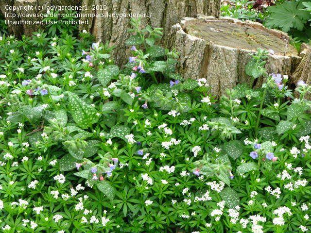 Best 25 Sweet woodruff ideas on Pinterest Ground cover plants