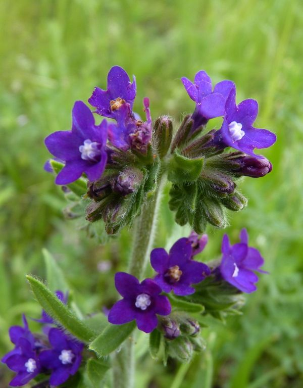 ALKANET (Anchusa officinalis)