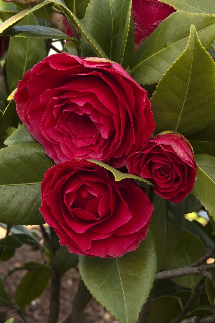 Nuccio's Bella Rossa Camellia -- Abundant four-inch, crimson-red blooms open over a long bloom season. Full shade to partial sun. Late winter to mid-spring. Zone: 8 – 10