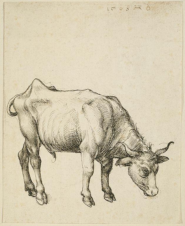 Albrecht Dürer ~ Young Steer, 1508