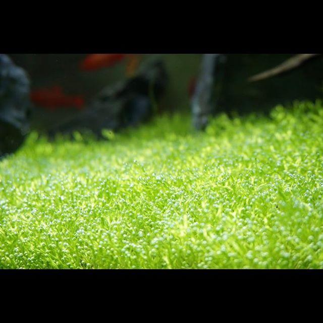 【shoki.1125】さんのInstagramをピンしています。 《非常に美しい。リシア水槽一面生え揃って、一面光合成で気泡まみれ。 #リシア #水槽 #龍王石 #レイアウト #アクアリウム #ネイチャーアクアリウム #光合成 #気泡 #緑 #green #nature #beautiful》