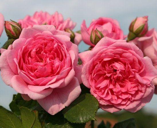 sweet laguna rose database roses pinterest. Black Bedroom Furniture Sets. Home Design Ideas