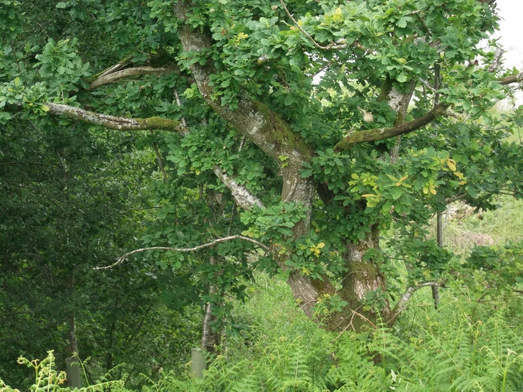 Summer oak tree in full leaf