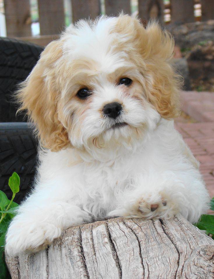, Puppies,Hybrids, Non - Shedding, Cavachon puppies, Non Shedding ...