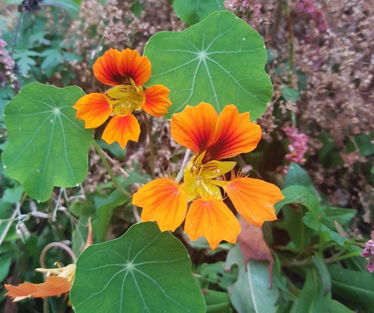 Blomkarse Phoenix med spiselige blomster og blader