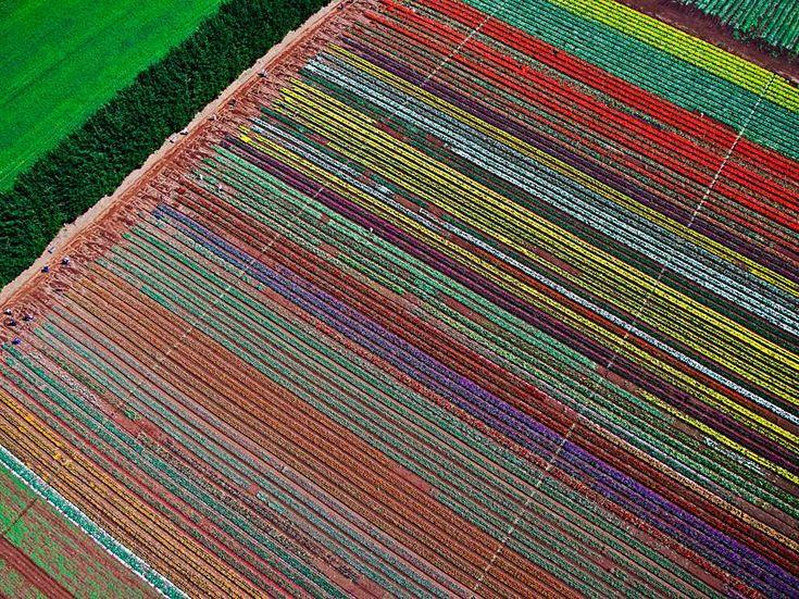 Tulip Farm, Tasmania