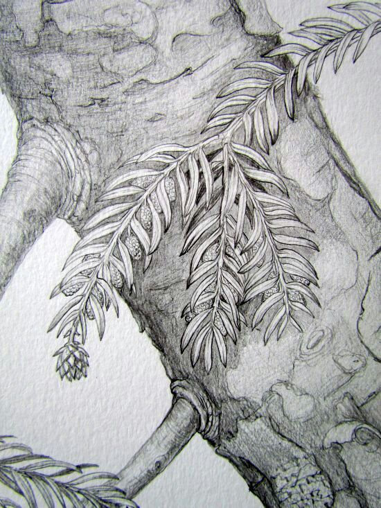Botanical illustration. Pencil drawing by Gábor Emese hungarian artist. From www.gaboremese.hu
