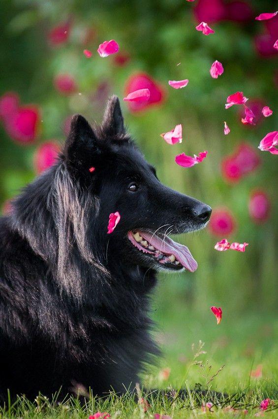 Groenendael: Black nose in a rain of roses. Belgian shepherd. Photo credit: Ina Hernas