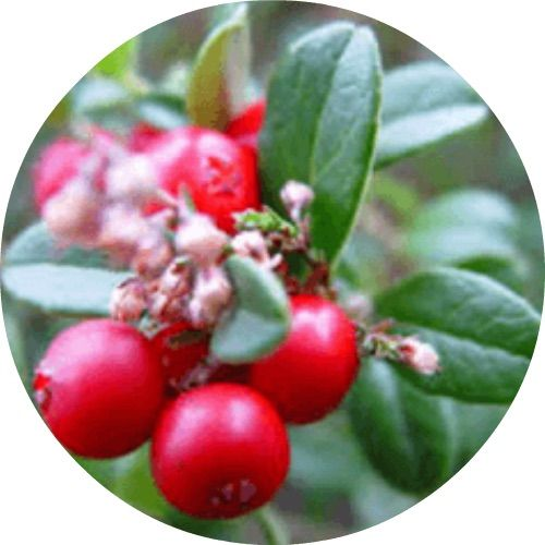 "🌿 WINTERGREEN ESSENTIAL OIL 〰 Living Libations  Known as ""Nature's Aspirin,"" traditionally used to relieve pain in muscles and joints, clear sinus congestion, stimulate the mind, and increase attentiveness.   #pain #wintergreen #organic #natural #vegan #livinglibations #dutchhealthstore"