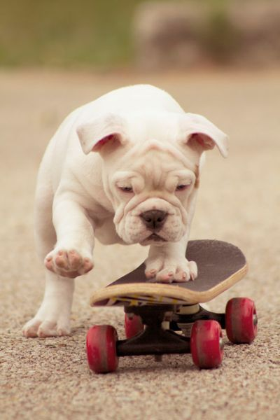 """27 Not-So-Tough Pictures of Bulldogs"" via www.photographyblogger.net"