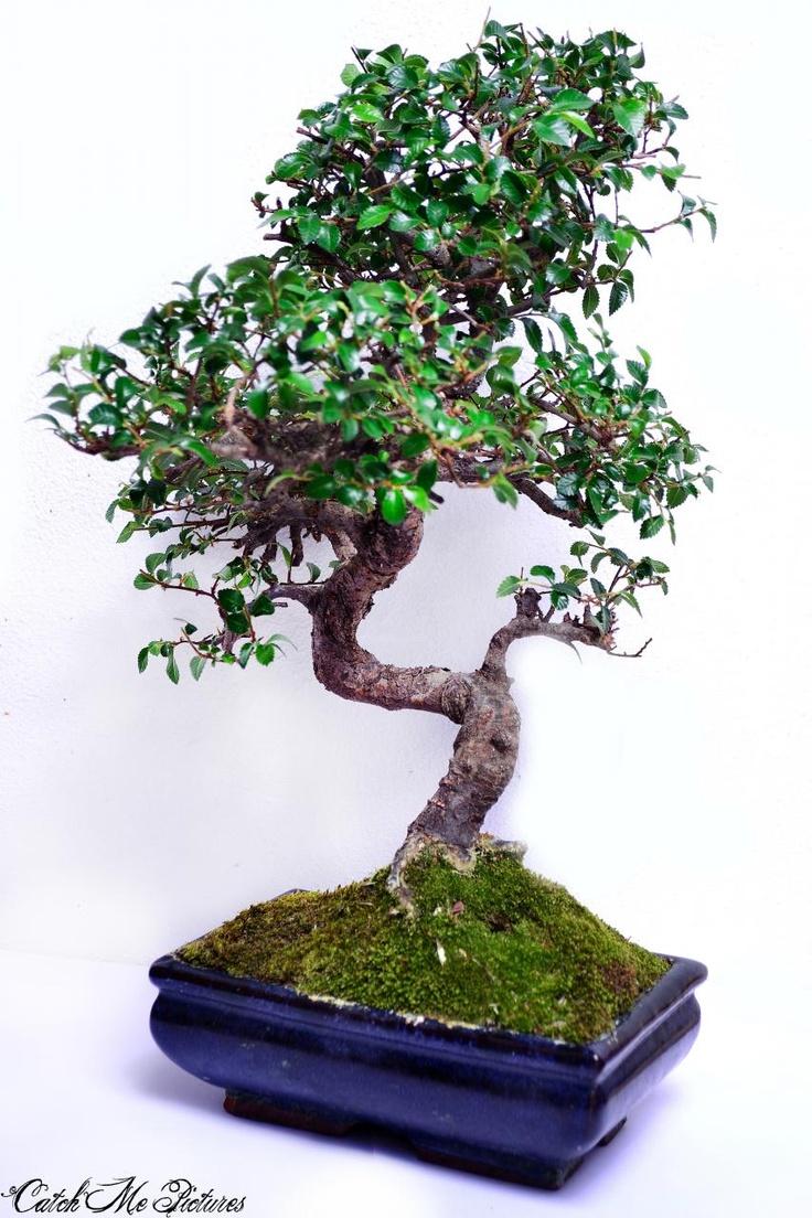 Photo du bonsaï : orme de chine
