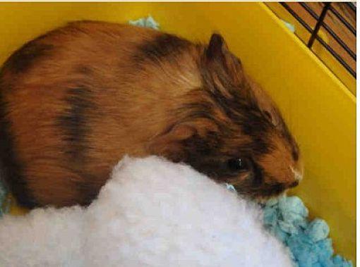 Fullerton, CA - Guinea Pig. Meet *Urgent* Luna a Pet for Adoption.