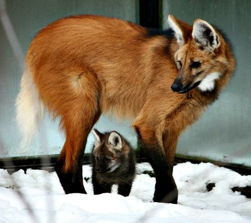 Most beautiful pic of Maned Wolf + pup ever!!! Maned Wolf Pups Come Out of Hiding to Visit the Vet